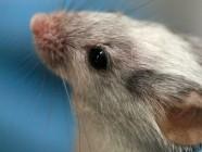 Las ratonas no quieren a los machos que hablan como su padre