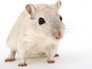 Ratón viejo + sangre joven = ratón joven