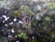 ¿Cena o pretendiente? Las arañas diferencian las vibraciones en su telaraña