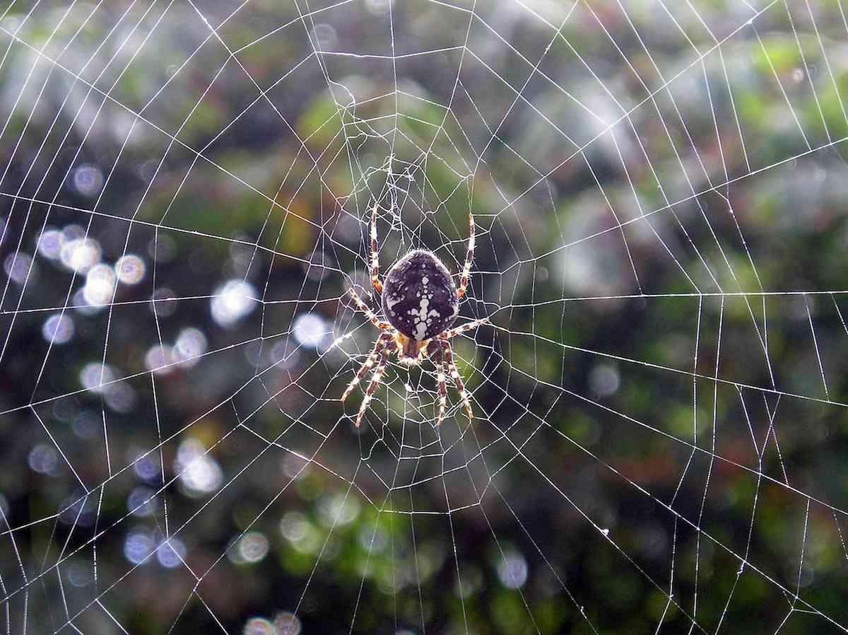 El hilo de araña avanza como nuevo biomaterial resistente