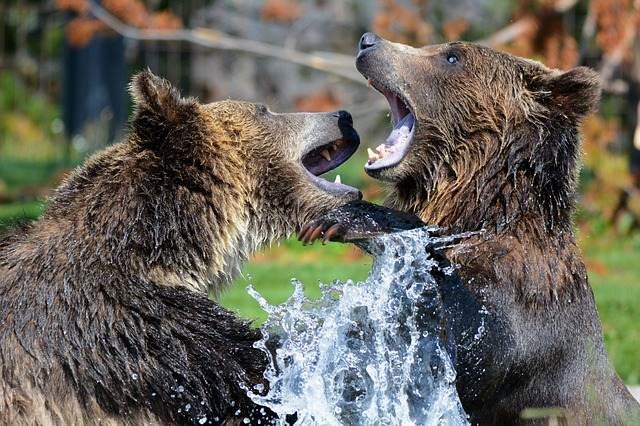 osos jugando en el agua
