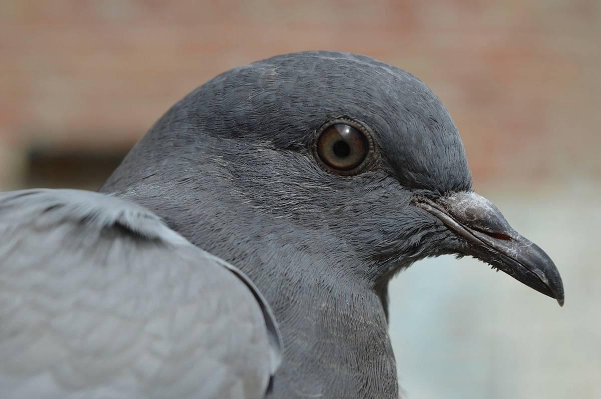 Patrullas de palomas en Londres contra la contaminación ambiental